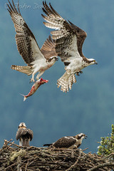 get away !! 20130802_5365 (GORGEous nature) Tags: fish bird oregon flying fight nest august aggression predator osprey fledgling pandionhaliaetus intruder vertebrates crgnsa hoodriverco johndavis intraspecificaggression