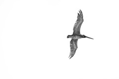 Brown Summer Pelican (Sherif Salama) Tags: white bird monochrome photoshop canon gray pelican 5d dslr processed ornithology brownpelican 5dmkii 5dmk2