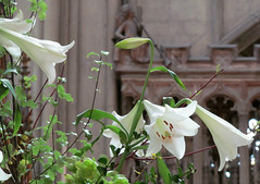 White lilies [Explored] (pefkosmad) Tags: flowers white flores fleurs cathedral blumen gloucestershire explore lilies gloucester blooms fiore weiss blanc gloucestercathedral explored