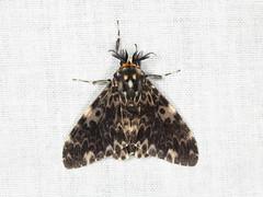 Lymantria sp. (mathura group) (Erebidae) (Scrubmuncher) Tags: lymantria erebidae mathura tamanthi myanmar burma rosspiper lepidoptera myanmarburmawildburmabbc2expeditionbbcexpeditionrosspiperentomologistentomology htamanthi moths lighttrap