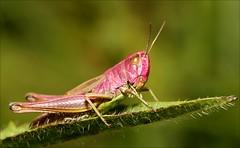 Grasshopper - Chorthippus parallelus (DebbieH82) Tags: lincolnshire grasshoppper chorthippusparallelus chambersfarmwoods canoneos7d 010913chambersfarmwoods