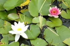 Water Lilies (Mrs Fogey) Tags: flowers nature pond waterlilies derby allestreepark