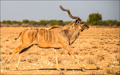 Kudu-male_DSC7365 (Mel Gray) Tags: nature animals namibia etosha kudu
