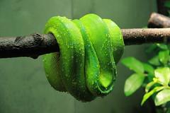 Green Tree Python (praja38) Tags: life toronto ontario canada tree green animal zoo branch skin reptile snake tail canadian rest python coil predator captivity torontozoo coiled capricorn greentreepython metrotorontozoo
