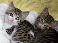 Plump little kittens :) (hehaden) Tags: rescue white cat kitten tabby kitty shorthaired