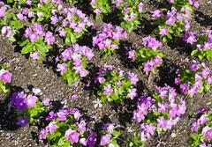 Flower Bed (Ray Horwath) Tags: flowers epcot nikon landscaping disney disneyworld nikkor wdw waltdisneyworld flowerbeds nikkorlens horwath d700 disneyphotos disneylandscaping rayhorwath nikkor20mmf28lens