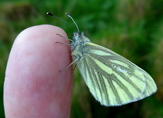 Sony Cyber-shot DSC WX100.Macro Mode.Male Green-veined White Butterfly On My Finger.May 6th 2014. (Blue Melanistic.Twelve Million Views.) Tags: ireland nature fauna insect spring cool wildlife may overcast macromode ulster tyrone 2014 raresunshine myfinger verywindy rainshowers smallbutterfly irishbutterfly bluemelanistic malegreenveinedwhite mywildflowergarden sonycybershotdscwx100 smallcompactcamera