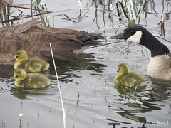 May 10, 2015 - Newborn goslings go for a swim with Mom and Dad. (Janice Koch)