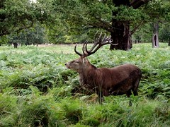 deer (menchuela) Tags: deer stag menchuela british fauna