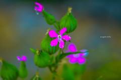 Spring (Sougata2013) Tags: wild india flower macro nature colors spring april mandi wildflower himachalpradesh nikond3200 2015 kamand