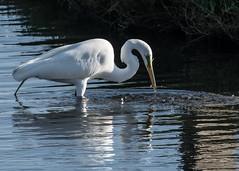 The Great Egret (Ardea Alba) (Jose Matutina) Tags: california bird nature us unitedstates orangecounty egret huntingtonbeach bolsachica