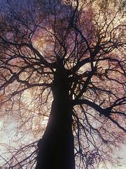Powerful. (mar.s.martinez) Tags: sunset sky naturaleza tree nature spring photoshoot dramaticsky powerful gigant
