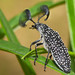 Rhipicera - Feather-Horned Beetle - male