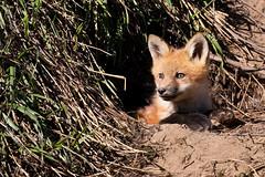 2015 05 27_IMG_5080 (Scott Weberpal) Tags: coyote nature animals wisconsin canon photography wolf wildlife den madison fox milwaukee redfox vulpesvulpes 100400 70d foxpups foxkits