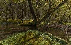 Sunshine in the forest - D8C_7045 (Viggo Johansen) Tags: trees green sol water sunshine forest spring skog vann rogaland vr trr gult yellew grnt vanndam oldthree rssdalen