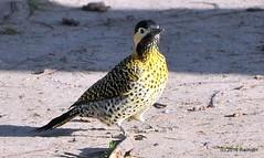 DSC_0056 (rachidH) Tags: birds oiseaux woodpecker pic greenbarredwoodpecker colaptesmelanochloros picvertetnoir carpinterorealnorteo bosquesdepalermo palermo woods buenosaires argentina rachidh nature