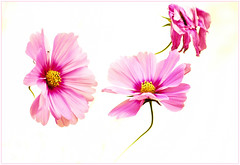 Fin de rgne / end of reign (www.nathalie-chatelain-images.ch) Tags: fleurs flowers cosmos rose pink hikey nikon