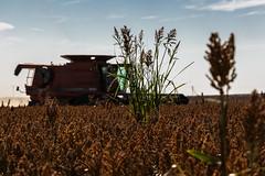 Shattercane (nwitthuhn) Tags: fall harvest milo shattercane case ih