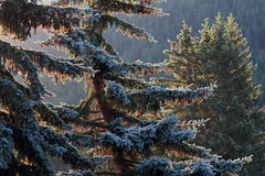 The Light Is Breaking Through (AnyMotion) Tags: firs firtrees tannen morninglight morgenlicht sunshine sonnenschein 2016 anymotion reisen travel canada kanada banff alberta 7d canoneos7dmarkii colours colors farben