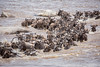 Wildebeast Crossing the Mara River (David Ramirez Photography) Tags: africa serengeti serengetinorth tanzania marariver river crossing rivercrossing wildebeest