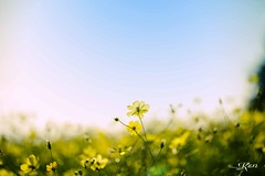 KEN_0484 (KenPhotographys) Tags: travelphoto travelasia travelphotograhy travelworld travel travelthejapan traveljapan tokyo landscape seetheworld snapshot snap scenery shinjuku shibuya flower flowers sky skyporn bluesky sunset cosmos