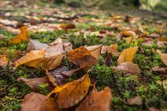 Herbst im Fichtelgebirge 02 - im Buchenwald (ho4587@ymail.com) Tags: herbst fichtelgebirge wald licht moos grn laub laubfrbung braun