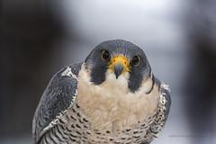 Faucon plerin / Peregrine Falcon / Falco peregrinus (FRITSCHI PHOTOGRAPHY) Tags: fauconplerin peregrinefalcon uqrop saintjudeqc falcoperegrinus