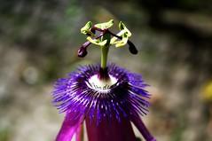 DSC_0577 (Aninha Gonzlez) Tags: maracuj passiflora natureza flor botnica sementes