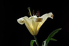 IMGP7693 Perfume Lily (tsuping.liu) Tags: outdoor organicpatttern blackbackground plant petal photoborder perspective passion pattern photographt flower nature natureselegantshots naturesfinest