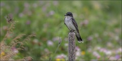 Eastern Kingbird...........On a Post (canuckguyinadarkroom) Tags: