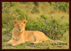 YOUNG SUB-ADULT MALE CUB (Panthera leo)  ......MASAI MARA......SEPT 2015 (M Z Malik) Tags: nikon d3x 200400mm14afs kenya africa safari wildlife masaimara kws exoticafricanwildlife exoticafricancats flickrbigcats lions leo