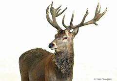 Red Deer (stag) - Woburn Estate- Bedfordshire (Alan Woodgate) Tags: nature