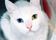 khao-manee-cat51 (lemonfilmblog) Tags: jorge barrios jorgebarrios gato white cat gata ojo iris color verde green azul celeste blue gentica wikimedia commons chile santiago