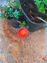 20161023_094412_HDR (Rodrigo Ribeiro) Tags: flower flor flores garden gardening jardim jardinagem
