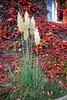 Pampasgras Cortaderia selloana Pumila (team60) Tags: cortaderia selloana pampasgras wilder wein parthenocissus quinquefolia