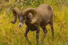 Looking for Moe and Larry? {Explored} (ChicagoBob46) Tags: rockymountainbighornsheep bighornsheep sheep yellowstone yellowstonenationalpark nature wildlife explore explored