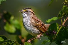 White-throated Sparrow (tan-striped) (jt893x) Tags: 150600mm bird d500 jt893x nikon nikond500 sigma sigma150600mmf563dgoshsms songbird sparrow tanstriped whitethroatedsparrow zonotrichiaalbicollis specanimal