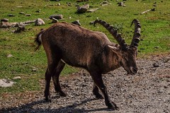 Alpine Ibex (wordsmith_Cornwall) Tags: ibex montebelloquebec omegapark parcomega