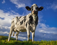 Head in the air, like you just don't care (Alan10eden) Tags: holstein cow animal milk dairy farm livestock bluesky farmer field paddock outdoors grass grazing landscape udder portrait herd northernireland ulster canon 80d sigma alanhopps countyarmagh keady freisian agriculture milker blackandwhite spotted spotty pose headup headsup muzzle nose