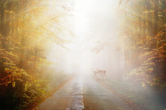 Good morning (BirgittaSjostedt) Tags: autumn fall haze fog morning forest tree color road deer animal fantasy creation light bright texture paint birgittasjostedt outdoor serene magicunicornverybest