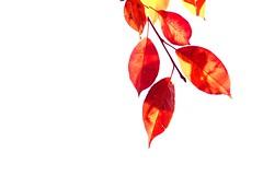 See thru (vinnie saxon) Tags: leaves red backlight fall autumn creative white nature light nikoniste nikon d600