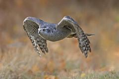 Goshawk (Chris J Upson) Tags: goshawk brecks canon canonef600f4mkii raptor 1dx avian bird hawk