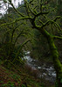 Mossy Trees (Xipitipix) Tags: wahclellafalls columbiarivergorge pacificnorthwest oregon november gorge tannercreek water moss tree woods hiking