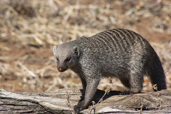 Mongoose Band (Stolen Art) Tags: botswana chobe africa safari wildlife bandedmongoose mongoose