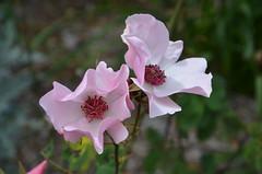 DSC_6023 Dainty Bess rose, Waite Rose Garden, Uni of Adelaide, South Australia (johnjennings995) Tags: daintybess pink rose flower waitecampus universityofadelaide australia southaustralia doublefantasy