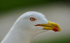 Geelpoot meeuw -Yellow-legged gull - Larus michahellis (Foto by Yves) Tags: seebirds june 2016 cadzand holland