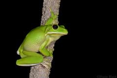 White-lipped Tree Frog (Litoria infrafrenata) (shaneblackfnq) Tags: whitelipped tree frog litoria infrafrenata shaneblack amphibian giant green wonga beach daintree river mossman fnq far north queensland australia tropics tropical