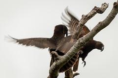Kaka (Brendon & Keryn) Tags: zealandia well spring newzealand northisland kaka nestor meridionalis