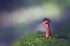Sola (www.studio360fotografia.es) Tags: setas vivitar55mm valdeinfierno nikon d700 mushroom macro bokeh vivitar55mmf28macro desenfoque