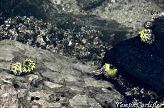 Marine Gastropods (tinlight7) Tags: seasnails marinegastropods sea persiangulf abudhabi uae taxonomy:kingdom=animalia animalia taxonomy:phylum=mollusca mollusca taxonomy:class=gastropoda gastropoda gastéropodes 복족류 gasteropodi gastropods caracolesbabosasyparientes snailsandslugs gastrópodes schnecken 腹足綱 taxonomy:common=gastéropodes taxonomy:common=복족류 taxonomy:common=snails taxonomy:common=slugs taxonomy:common=gasteropodi taxonomy:common=gastropods taxonomy:common=caracolesbabosasyparientes taxonomy:common=snailsandslugs taxonomy:common=gastrópodes taxonomy:common=schnecken taxonomy:common=腹足綱